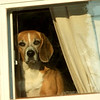 """How Much is that Doggy in the Window? ""   This little guy waits at the window every morning for his master to get home from work and you can`t get a bark or a smile out of him while he waits with this sad , little face. I pass by his house most mornings and he hides behind the curtain , but he was braver today.   I`m very tired so this will be my post for the 29th.This was the best I could do with glass between him and the camera..I wanted to pet his sadness away.    This was taken last year 2011 and  , I 've just met the dog owner this am June 19,2012. . Told her that I have this doggy shot for her and she seemed delighted to give me her address so I can drop it off. Thank you to the smug mugger who helped me to sharpen  the colors!"