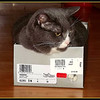 """""""Don't call meeee  fat.""""   Aug.12/12 post   Got some things at a yard sale and the lady put them in this shoe box. The moment the tissue was unfolded with the box on the floor , my kitty got into it. She is sitting in the middle of the floor so we are having to walk around her ,but the look we get when we approach is, """"no joke."""" She will not be disturbed!  She is getting a little chunky but eats her sister's food during her cat naps .   Have you ever stopped at a yard sale and thought WOW , I think that is fine China from Windsor castle ! Well , you know what I mean.  We got this shoe box full of lovely little things and we thought woohoo , """" just like pirates with the treasure chest"""".   Got home and e bay has the stuff on sale for 35 dollars US. Thought we had a teapot fit for Royalty ,or as Mrs. Bouquet would say """" Oooh I'll serve it on my Royal Dolton!""""!   Oh well, It's pretty vintage china and looks nice on the shelf."""